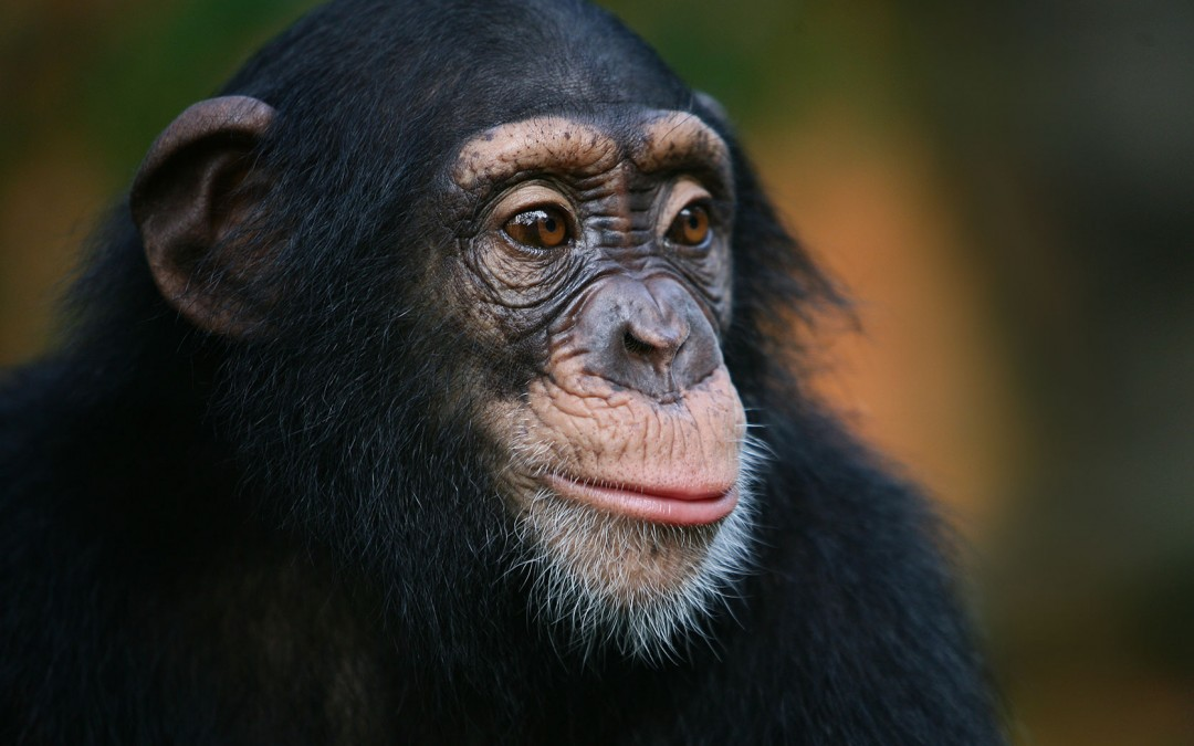 Breaking News: Study Finds Common Cold Virus Deadly to Chimpanzees