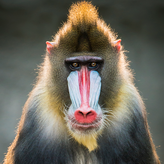 Mandrill - the most colorful primate - Olive green or dark grey fur with yellow and black bands, a white belly and hairless face.