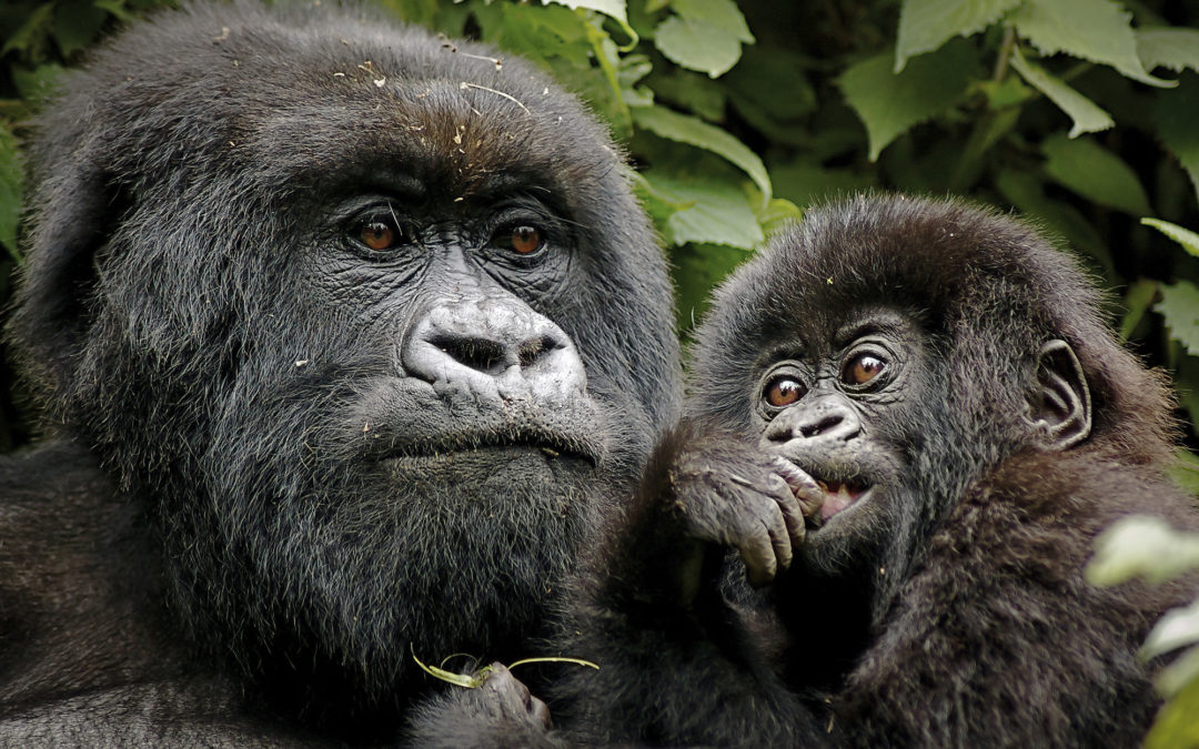 The Success of Mountain Gorilla Conservation and the Status of all Gorilla Subspecies