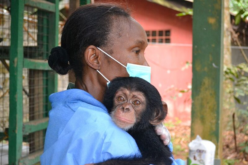 The Growing Crisis of Great Ape Smuggling