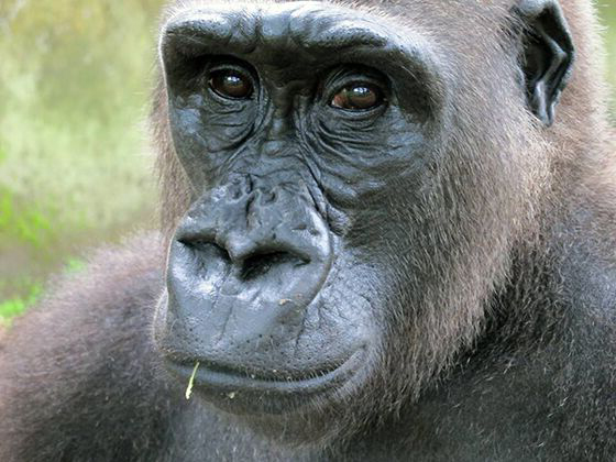 How Can You Reduce Climate Change by Helping Protect Great Apes?
