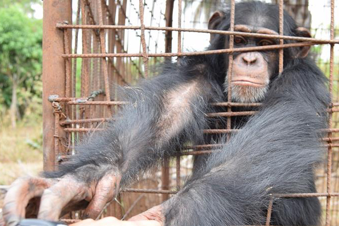 Four Rescued Chimpanzees in Desperate Need of Help!