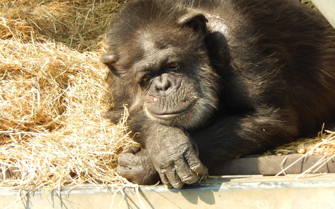 Japan's Only Ape Sanctuary Arose from a Pharmaceutical Research Facility