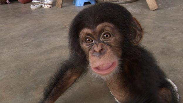Nemley Junior: A Tiny Chimpanzee with a Not-So-Tiny Impact on Illegal Wildlife Trade