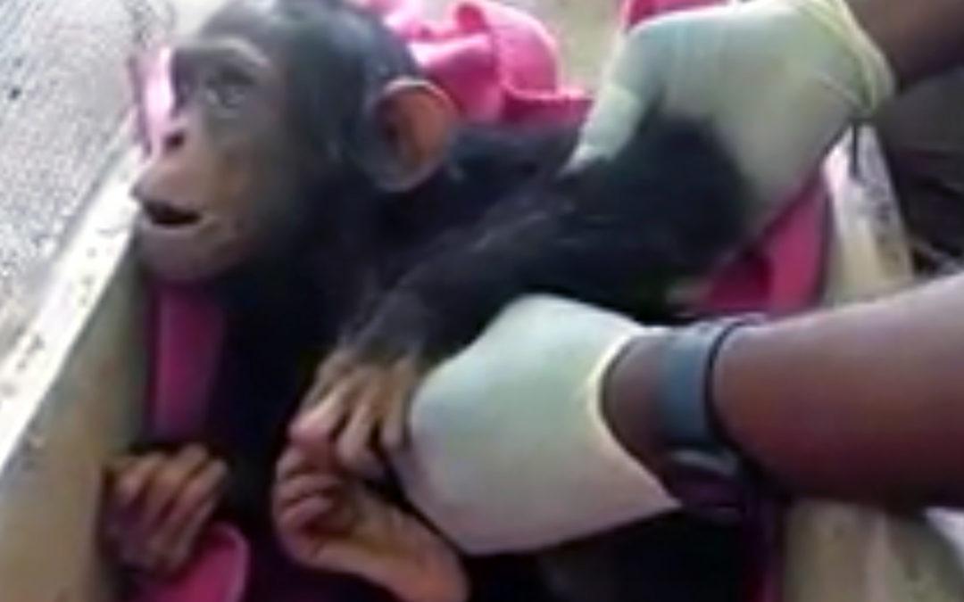 Tragedy Strikes an Orphaned Chimpanzee