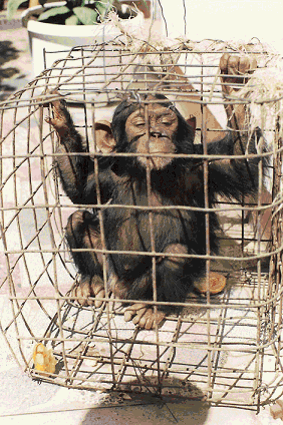Chimpanzee caught in trap