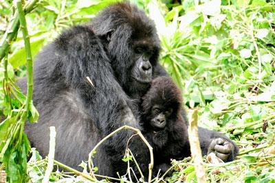 Gorilla Experts Highlight Santa Barbara Workshop