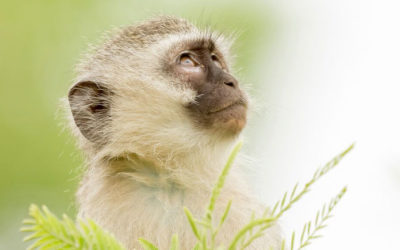 Why Monkeys Don't Belong in Your Living Room