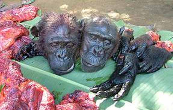 Image result for chimpanzee bushmeat