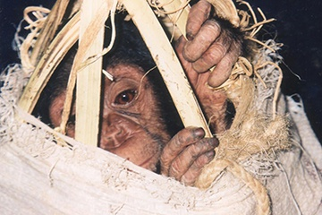 Political Instability Affects People and Primates Alike