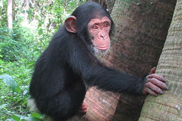 What Does it Take to Create a Chimpanzee Sanctuary from Scratch?