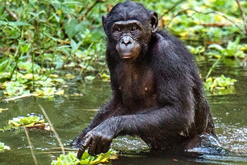 Against All Odds, Fourteen Bonobos Find Their Way Home!