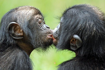 Bonobos and Chimpanzees, Which Ape is Which?