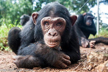 Ngamba Island Chimpanzee Sanctuary Works to Save Chimps and Improve Communities