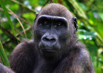 APE ACTION AFRICA