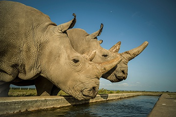 Saving the Last Remaining Northern White Rhinos