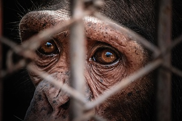 The Tragic Reality for Pet Primates