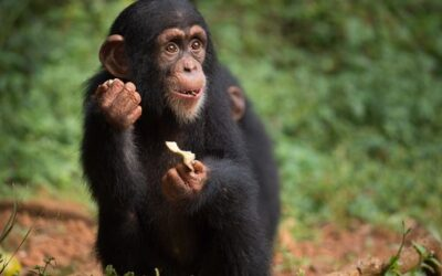 Building a Chimpanzee Nursery