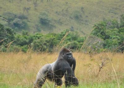 PROJET PROTECTION DES GORILLES – CONGO AND GABON