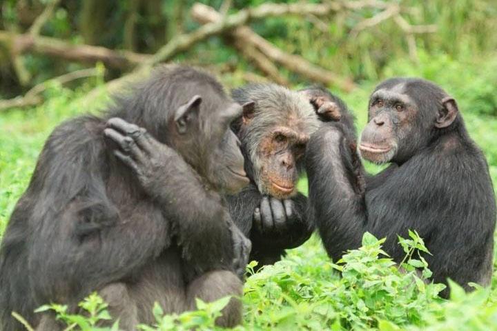 Celebrating the Amazing – and Endangered – Chimpanzee