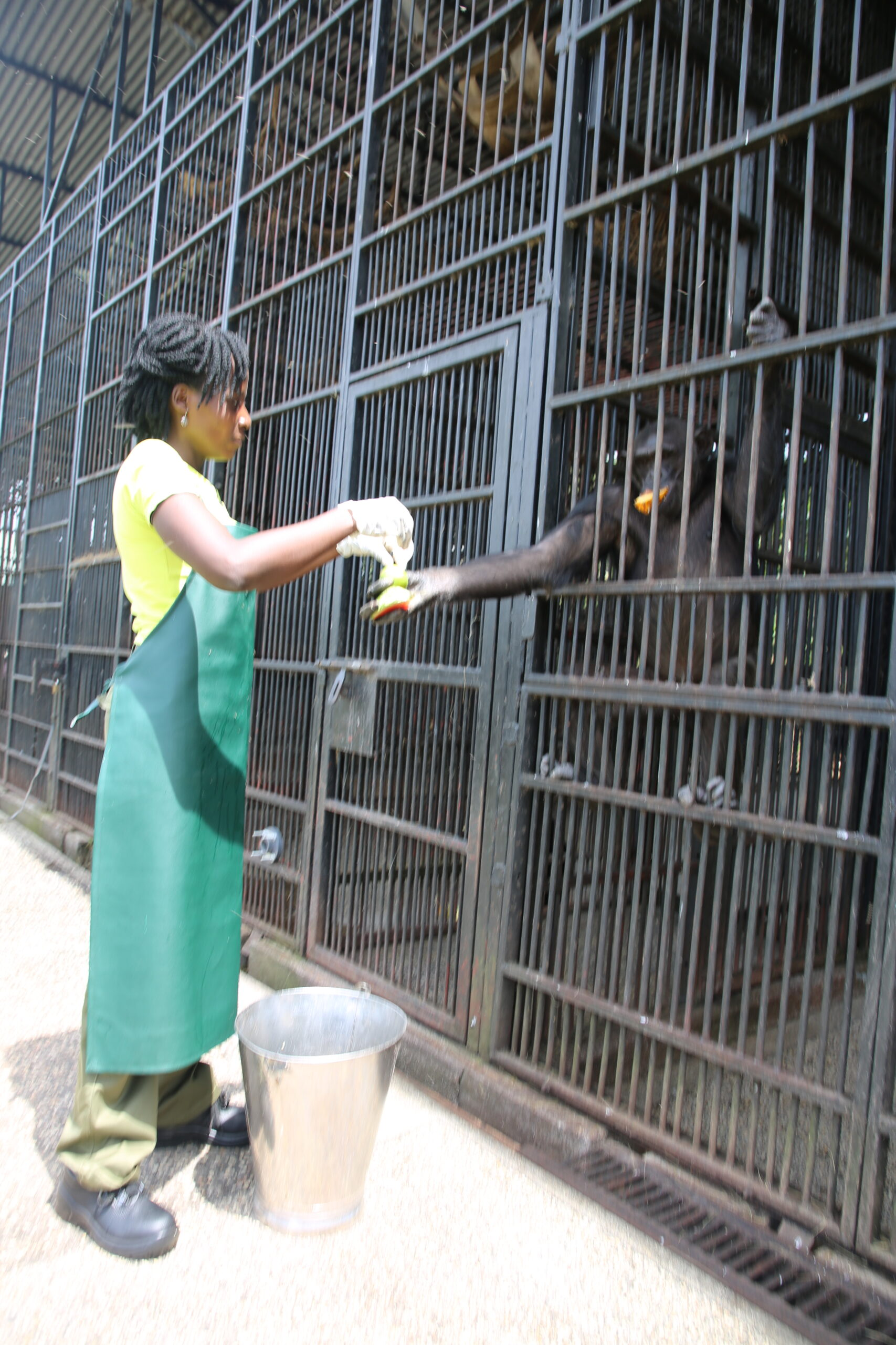 A woman feeds a chimpanzee at a wildlife sanctuary in Africa.